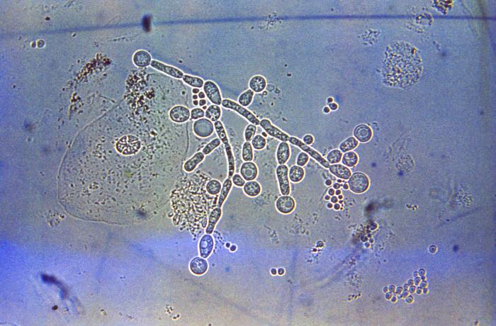 Candida Albicans, fungal infections