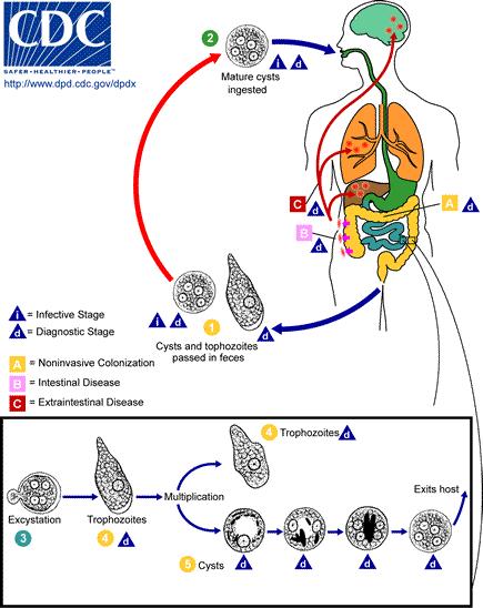 Entamoeba - Infectious Disease Advisor