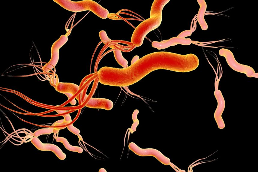 Helicobacter pylori, bacterium which causes gastric and duodenal ulcer